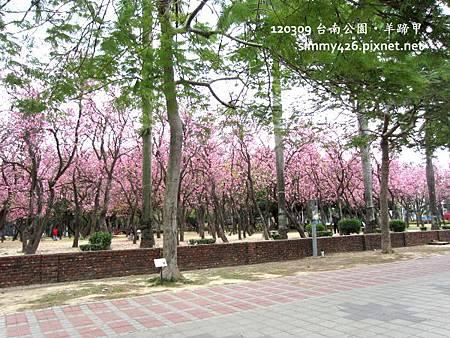 120309 台南公園 羊蹄甲(3)