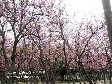 120309 台南公園 羊蹄甲(4)