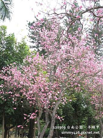 120309 台南公園 羊蹄甲(5)