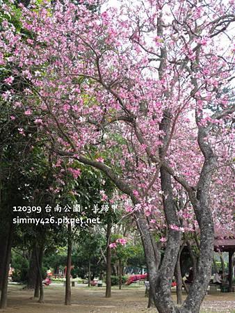 120309 台南公園 羊蹄甲(6)