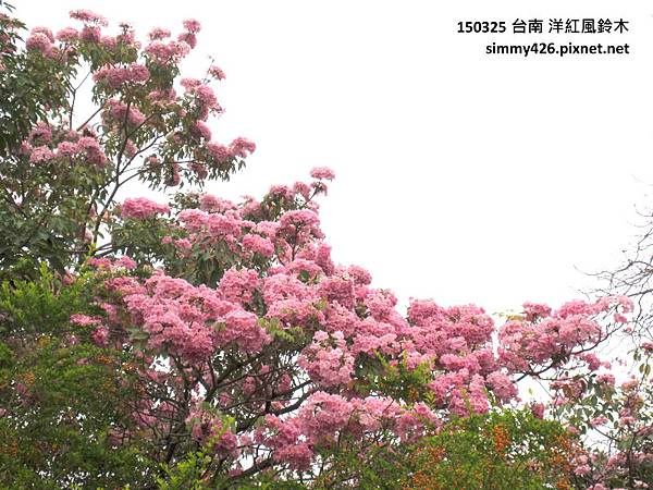 洋紅風鈴木(4).jpg