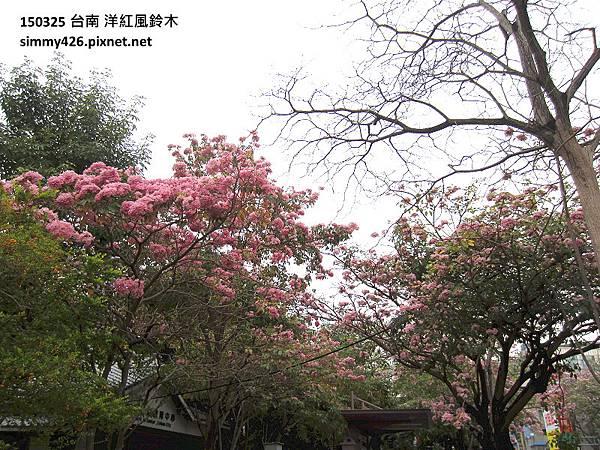 洋紅風鈴木(5).jpg