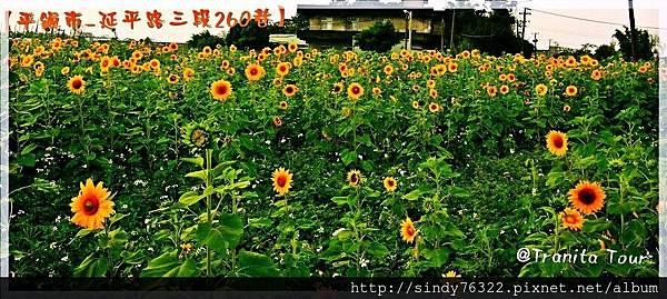 桃園-平鎮-向日葵花海.jpg