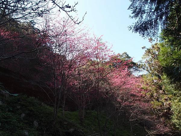 一整片櫻花