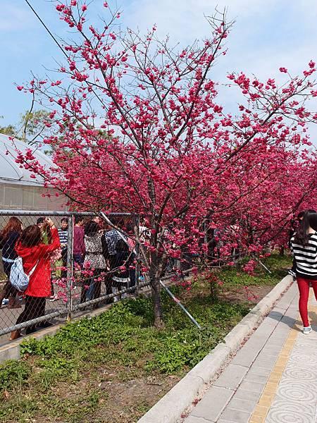 泰安賞櫻花