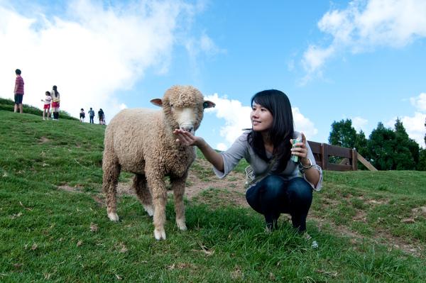 清境農場~餵綿羊