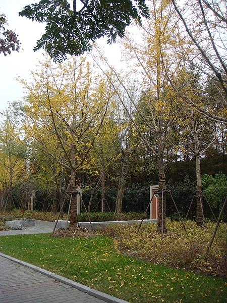 超多銀杏樹