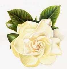 gardenia07.jpg