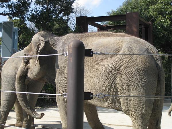超大隻真實的大象