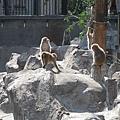 超級多的小猴子