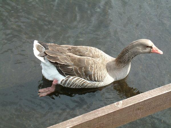 金麟湖上不怕人滴鴨~
