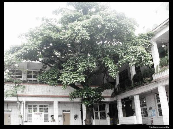 十分國小的大樹.jpg