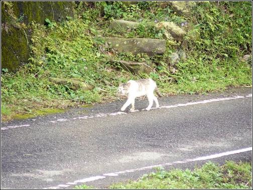 昂首闊步的貓.JPG
