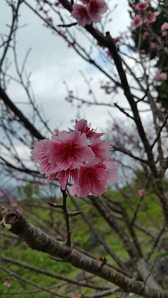 櫻花20170201_112742.jpg