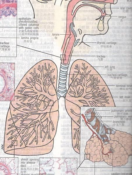 Lung 肺.jpg