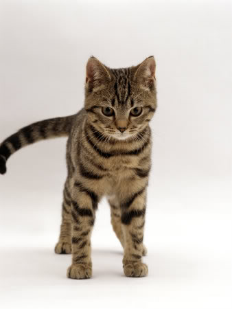 1145018Domestic-Cat-Brown-Tabby-Cat