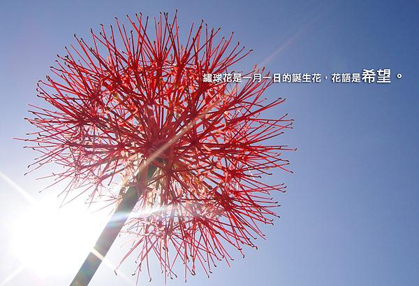 繡球花2.jpg