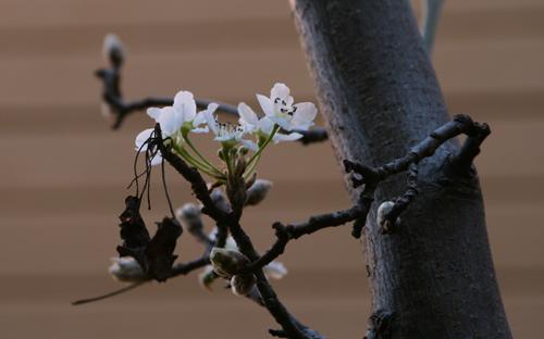 Cherry Blossom1.jpg