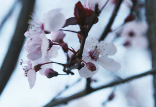 Cherry Blossom6.jpg