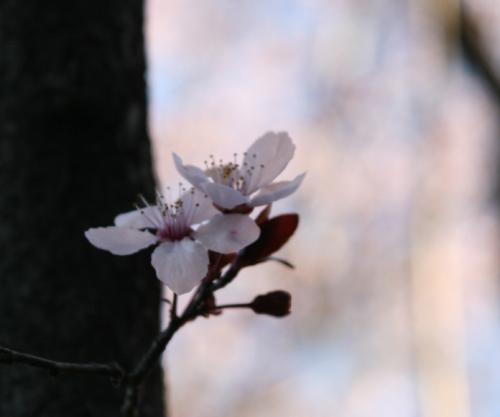 Cherry Blossom7.jpg