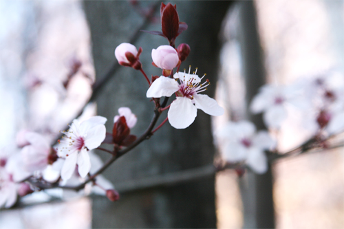 Cherry Blossom3.jpg