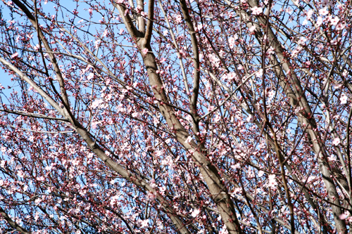 Cherry Blossom5.jpg