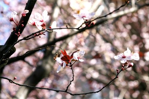 Cherry Blossom8.jpg