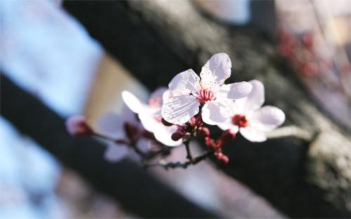 Cherry Blossom11.jpg