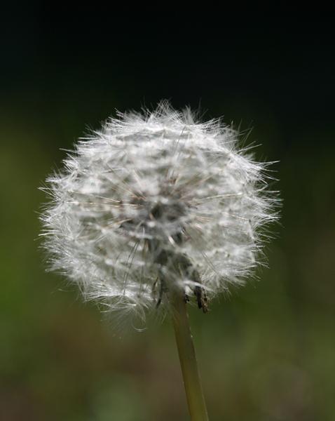 Dandelion4.jpg