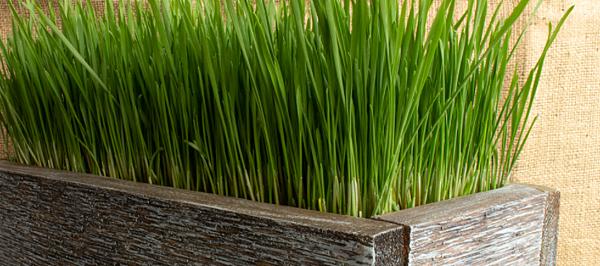 wheatgrass lotion.png