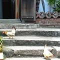 小雞走樓梯的樣子,真的是可愛到瘋掉