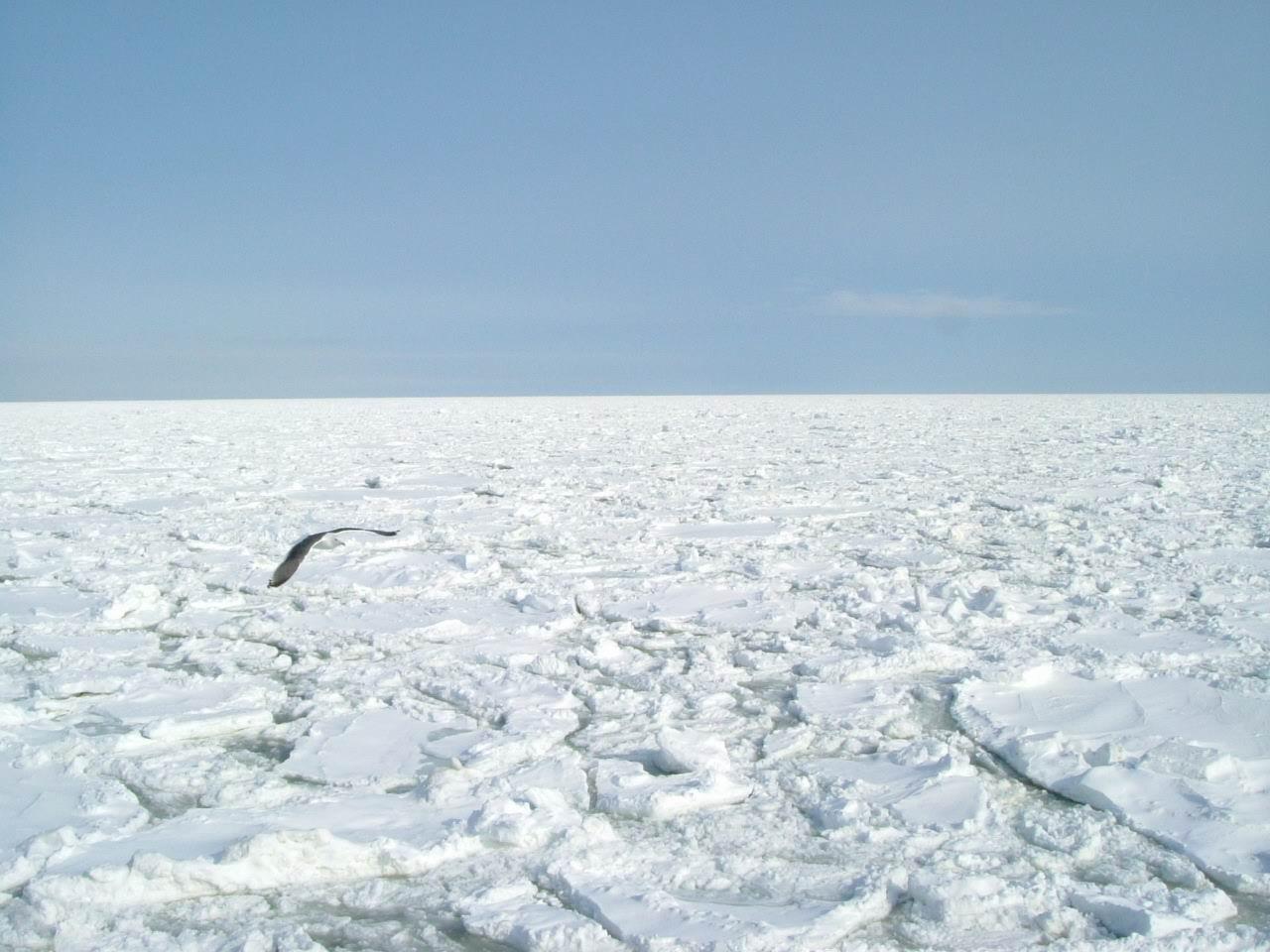 流冰上的海鷗2.jpg