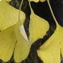 轉黃的銀杏葉