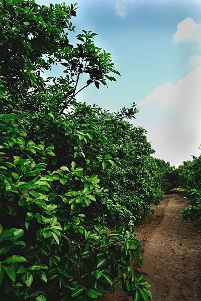 2012麻豆梁家柚園