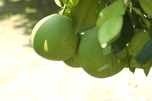 梁家大白柚