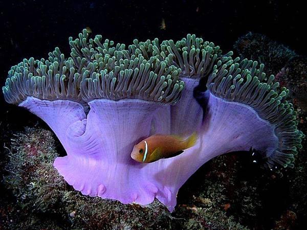 小丑魚與海葵.bmp