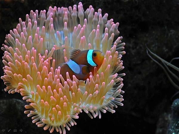 可愛小丑魚.bmp