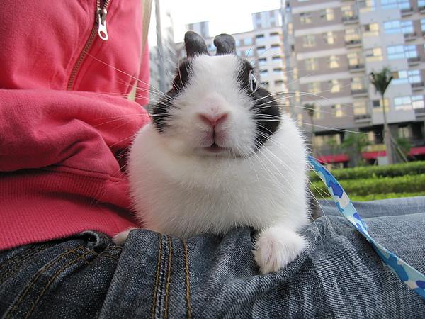 家裡的迷你兔 奇奇.JPG