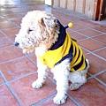 偽裝成蜜蜂的小狗