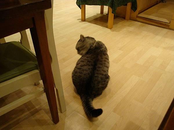 院子Cafe的店貓