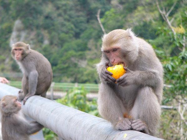 猴子吃水果