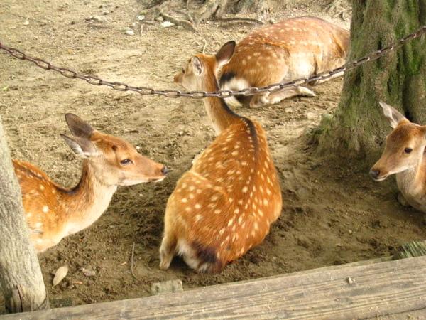 奈良鹿公園的鹿