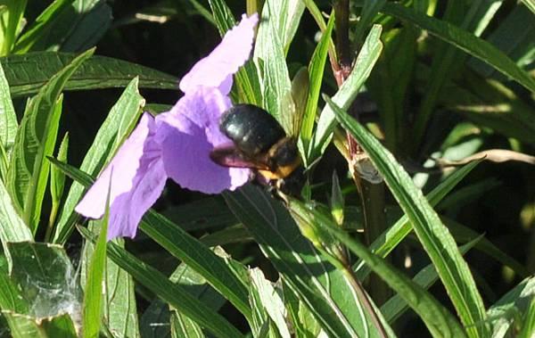 白領帶木蜂-雌