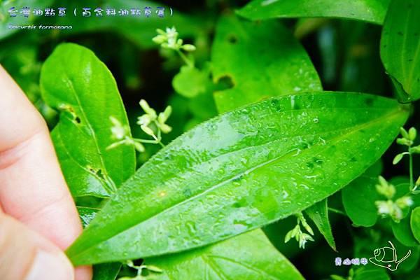 森林報-油點草葉子