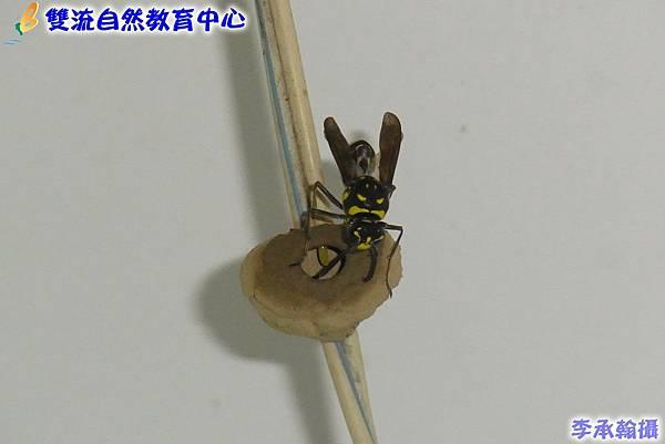 虎斑泥壺蜂R0033581(001)