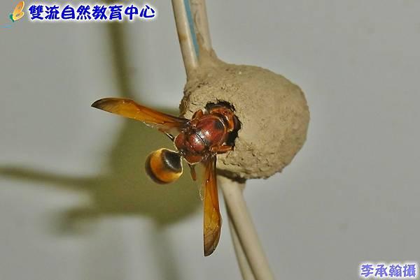正在產卵的棕泥壺蜂