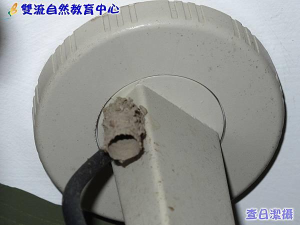 棕泥壺蜂的巢