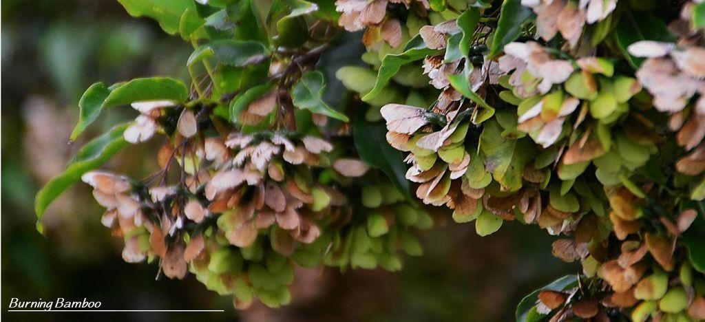樟葉槭2.jpg