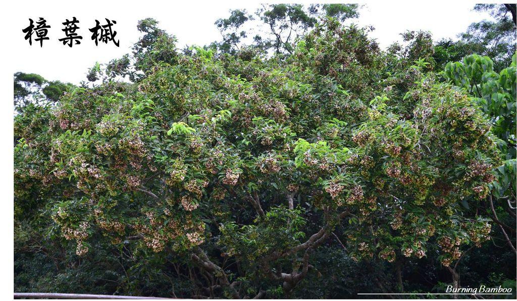 樟葉槭1.jpg