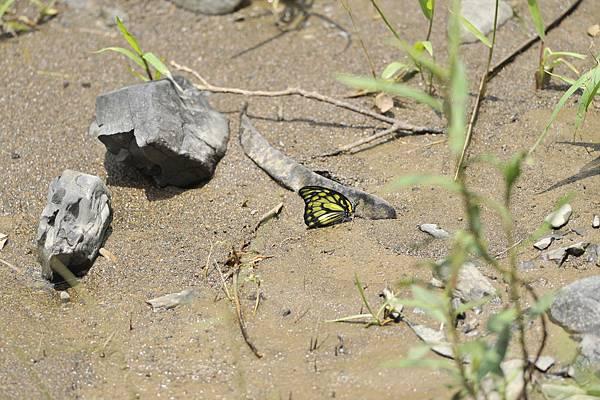 斑粉蝶-李鐘寶攝